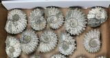 Wholesale: 5Kg Bumpy Ammonite (Douvilleiceras) Fossils - 24 pieces - #103219-1