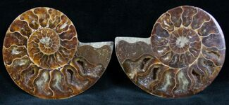 Cleoniceras - Fossils For Sale - #7329