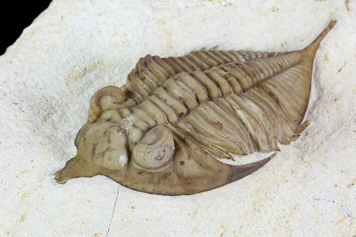 "2.6"" Huntonia Trilobite - Black Cat Mountain, Oklahoma"