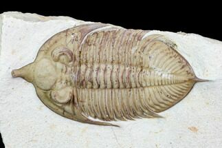 "Buy 3.05"" Huntonia Trilobite - Black Cat Mountain, Oklahoma - #104086"