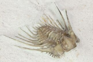 "Buy .9"" Kettneraspis Trilobite - Black Cat Mountain, Oklahoma - #104104"