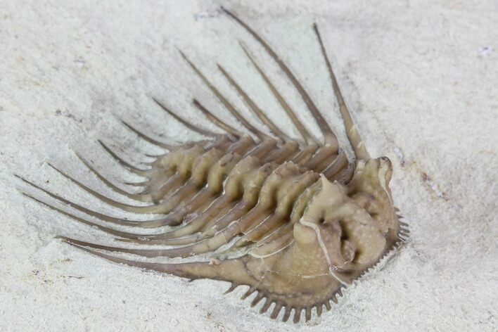 "Top Quality, .95"" Kettneraspis Trilobite - Black Cat Mountain"