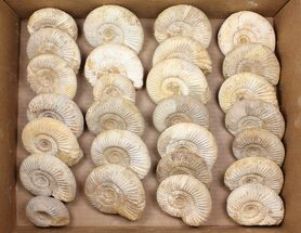 Wholesale Lot: 10 Lbs Perisphinctes Ammonite Fossils - 32 Pieces For Sale, #103889