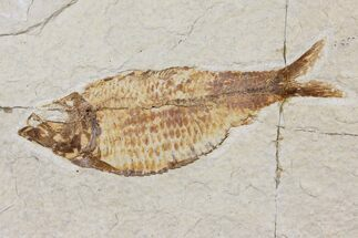 "Buy Bargain, 3.9"" Fossil Fish (Knightia) - Wyoming - #103897"