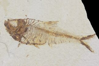 "3.4"" Diplomystus Fossil Fish - Wyoming For Sale, #103958"