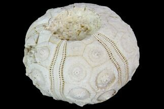 "Buy 1.6"" Fossil Sea Urchin (Drocidaris) - Morocco - #104509"