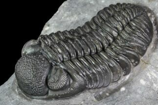 "Buy 1.53"" Phacops Araw Trilobite - Scarce Phacopid Species - #104959"