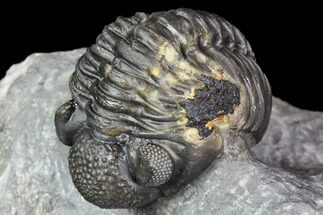 "1.9"" Adrisiops Weugi Trilobite - New Phacopid Species For Sale, #104963"