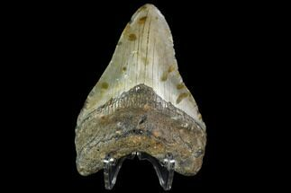 "3.99"" Fossil Megalodon Tooth - North Carolina For Sale, #105011"