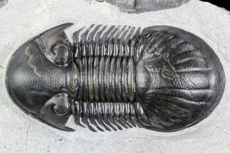 "Buy 2.45"" Paralejurus Trilobite Fossil - Top Quality Specimen - #105163"
