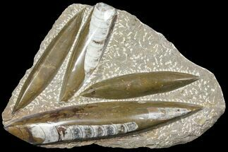 Arionoceratid Nautiloid - Fossils For Sale - #104631