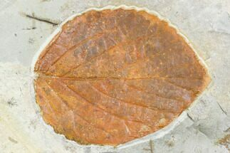 "2.5"" Fossil Leaf (Beringiaphyllum) - Montana For Sale, #105215"