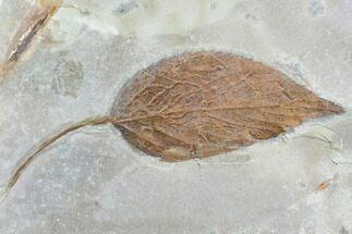 "Buy 3.8"" Fossil Hackberry Leaf (Celtis) - Montana - #105124"