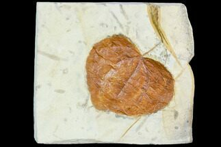 "2.6"" Fossil Leaf (Zizyphoides) - Montana For Sale, #105227"