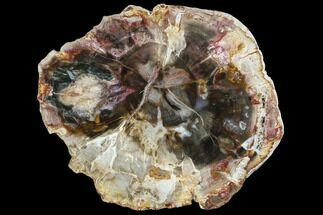 "Buy Colorful, 4.9"" Petrified Wood (Araucaria) Slice - Madagascar - #105370"