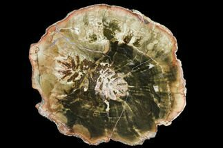 Araucaria (Conifer) - Fossils For Sale - #105381