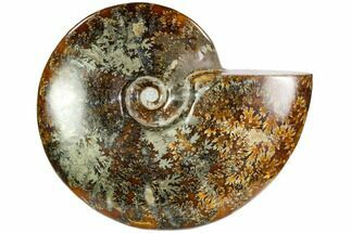 "6.5""  Polished Ammonite (Cleoniceras) With Pyrite - Madagascar For Sale, #104855"