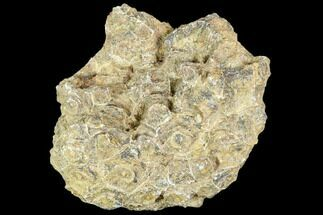 Actinocyathus sp. - Fossils For Sale - #105714