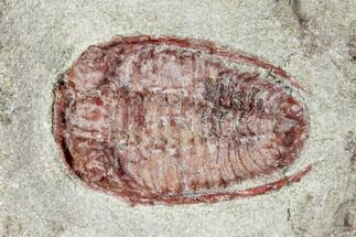 ".8"" Red Bathycheilus Trilobite - Zagora, Morocco For Sale, #105872"