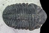 "Bargain, 1.55"" Austerops Trilobite - Visible Eye Facets - #106039-4"