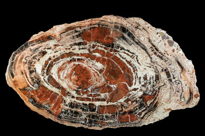 "22.5"" Red/Black Petrified Wood (Araucarioxylon) Slab - Arizona"