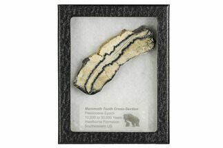 "3.6"" Mammoth Molar Slice With Case - South Carolina For Sale, #106499"