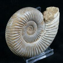 Perisphinctes - Fossils For Sale - #7377