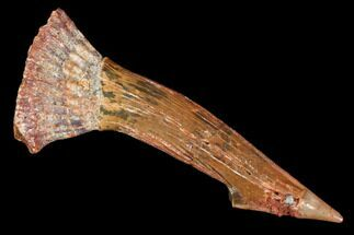 "Buy 1.9"" Fossil Sawfish (Onchopristis) Rostral Barb- Morocco - #106465"