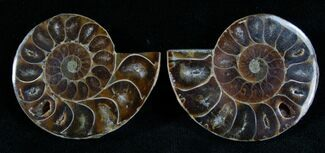 Buy Small Desmoceras Ammonite Pair - #7540