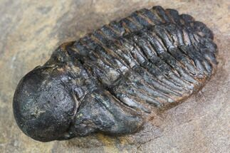 "Buy .9"" Bubble Nose Actinopeltis Trilobite - Rare Species - #106849"