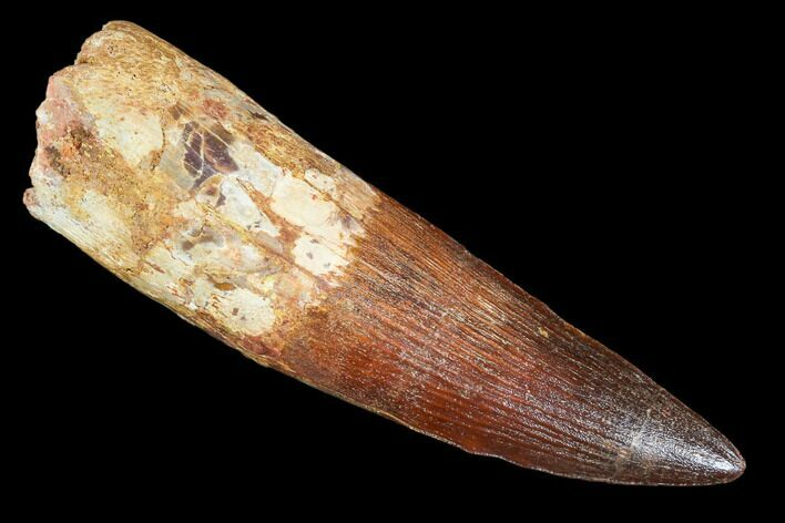 "4.48"" Spinosaurus Tooth - Best Large Spino Tooth We've Had!"
