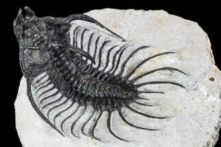 Quadrops flexuosa - Fossils For Sale - #107001