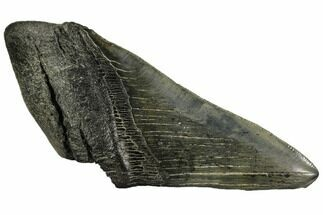 "Buy 5.62"" Partial Fossil Megalodon Tooth - Georgia - #106954"