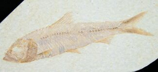 "3"" Knightia Fossil Fish - Wyoming For Sale, #7544"