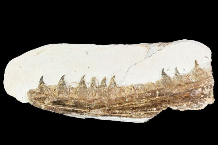 "6.1"" Fossil Mosasaur (Tethysaurus) Jaw Section  - Goulmima, Morocco"