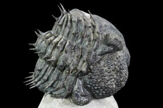 "Buy Bargain, Spiny, Enrolled Drotops Armatus Trilobite - 5"" long - #105436"
