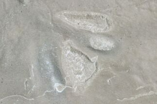 Fossil Bird Tracks - Green River Formation, Utah For Sale, #106127