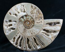 "Buy Beautiful 9.7"" Choffaticeras Ammonite - Half - #7576"