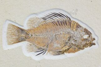"Buy Detailed, 5.8"" Priscacara Fossil Fish - Wyoming - #107470"