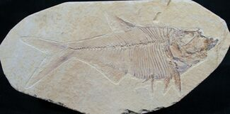 "Buy 5"" Diplomystus Fossil Fish - Wyoming - #7582"
