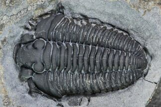 ".65"" Gravicalymene Trilobite - Lorraine Group, Quebec For Sale, #107531"