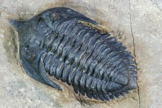 Double Pseudocryphaeus (Cryphina) Trilobite - Excellent Quality For Sale, #107534