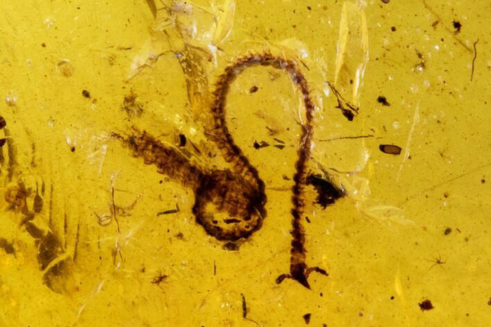 Fossil Beetle And Millipede In Amber - Myanmar