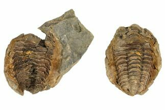 Flexicalymene Sp. - Fossils For Sale - #106716