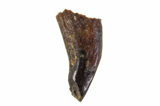".26"" Cretaceous Mammal (Alphadon) Incisor - Montana For Sale, #108104"