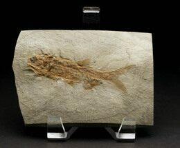 Wendyichthys dicksoni  - Fossils For Sale - #6534