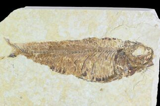 "Buy 4.6"" Fossil Fish (Knightia) - Wyoming - #108304"