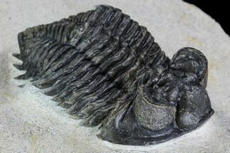 "1.95"" Coltraneia Trilobite Fossil - Huge Faceted Eyes For Sale, #108428"