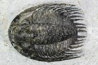 Phaetonellus sp. - Fossils For Sale - #108690