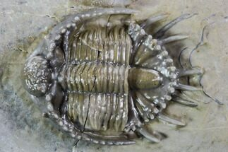 "Buy Large, 1.2"" Basseiarges Trilobite - Jorf, Morocco - #108685"